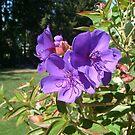 Lavender Beauty by Jane Neill-Hancock