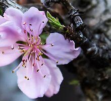 Peach Blossom 1 by heatherfriedman
