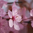 Pink blossom by Crimmy