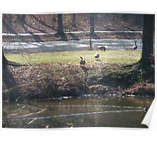 Canada geese on the peninsula Poster
