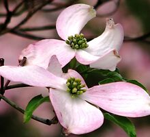 Dogwood A Gift Of Spring by AngieDavies