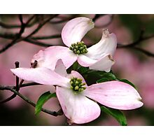 Dogwood A Gift Of Spring Photographic Print