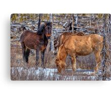 Furry Colts Canvas Print