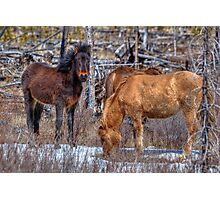 Furry Colts Photographic Print
