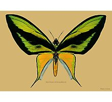 Male Paradise Birdwing Butterfly Photographic Print