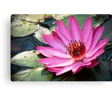 Waterlily,pink. Canvas Print