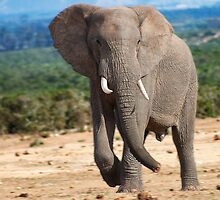 Big male Elephant by JeanNieman