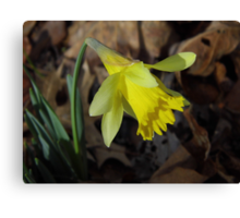 First Daffodil, 2013 Canvas Print