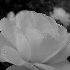 Black and white rose by Ana Belaj