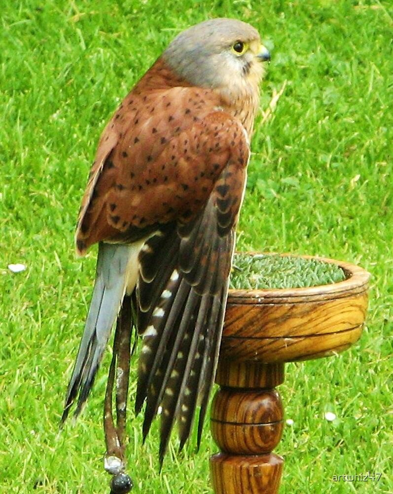 Common Kestrel ~ Uncommonly Relaxed... by artwhiz47