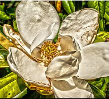 Magnolia Blossom number 1 by Joe Bledsoe