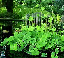 Water Shamrock (Marsilea quadrifolia) by kkmarais