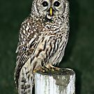 Neighborhood Owl by AngieBanta