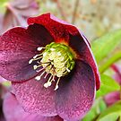 Single Helleborus in Spring! by weecritter