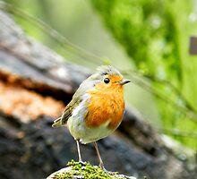 Little Robin showing you his good side! by weecritter