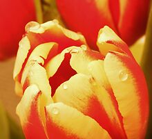 Fresh Tulips by Theresa Selley