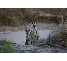 Curious Kangaroos Photographic Print
