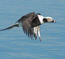 Long-tailed Duck by (Tallow) Dave  Van de Laar