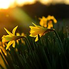 Sunset Daffodils by DonCondley