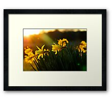 Sunset Daffodils Framed Print