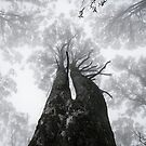 "From ""Giants of Geboor - The Forests of Mount Macedon"" 4 by Ben Cordia"