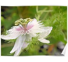 Bush passionfruit in flower Poster