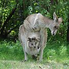 """Mother kangaroo and """"in pouch"""" joey  by unstoppable"""