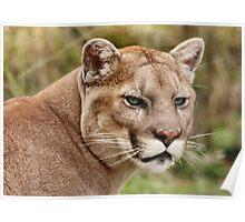 Puma / Mountain Lion  Poster