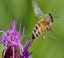 Honey bee by scott staley