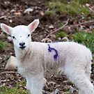 A little lamb  by elainejhillson