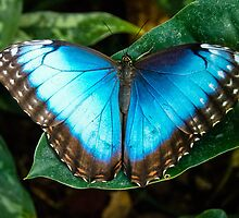 Caribbean Butterfly by bodhikaiimagery