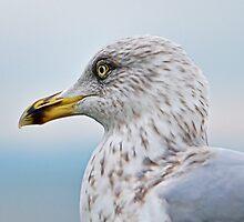 Herring Gull In Profile by Susie Peek