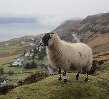 Sheep by jmnicolson