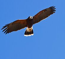 Harris Hawk by Ray Chiarello