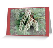 Andromeda - Lily of the Valley Shrub - Pieris japonica Greeting Card