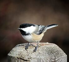 Chickadee by Pete5