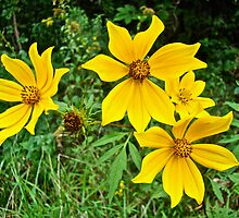 Long-Bracted Tickseed Sunflower Wildflower - Bidens polylepis by MotherNature