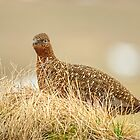 Grouse In Grass by Jamie  Green