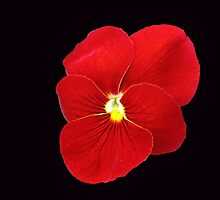Scarlet on Black - Cute Red Pansy by Kathryn Jones