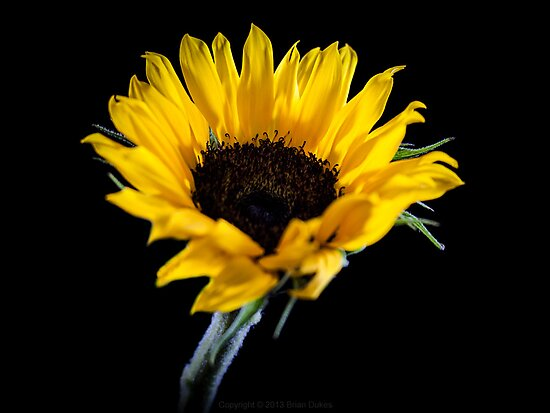 Ah! Sunflower by Brian Dukes