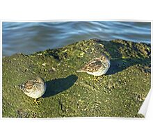 Purple Sandpipers Poster