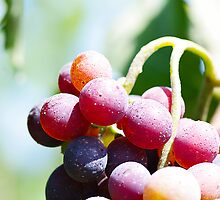 In my garden: Grapes 3 by Giuseppe Ridinò