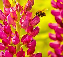 Bee Loves Lupin! by MoTakesPhotos