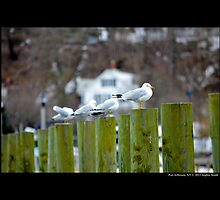 Larus Delawarensis - Ring-Billed Gulls - Port Jefferson, New York  by © Sophie W. Smith