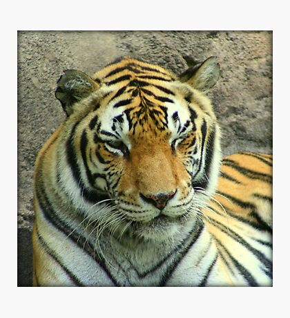 Winking Tiger Photographic Print