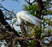 Preening Great Egret by Robert H Carney