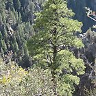 Grand Canyon Pine by Andrew Hogarth