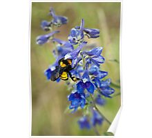 Bumble Bee On Larkspur Poster