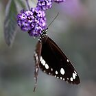 Hunter Valley Butterfly ~ 2 by Emma  Wertheim