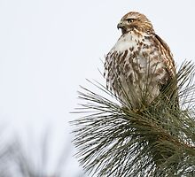 Red-tailed Hawk in a Young Ponderosa Pine by John Williams
